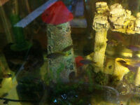 Only 8 Yellow Tail Acei Cichlids Left
