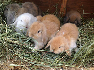 LazyHare Rabbitry has baby bunnies avliable