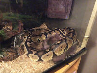 Beautiful male ball python