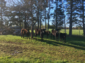 Feeder Cattle for sale
