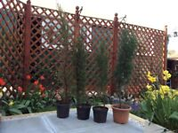 Four Italian Cyprus trees 3ft tall in pots