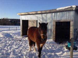 Morgan Quarter horse