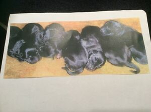 Black Lab / Border Collie Puppies