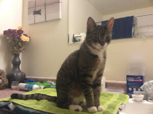 Found Cat, male, tabby with white socks, Clayton Park