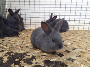 Young American Blue Rabbits for Sale