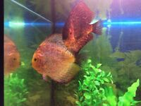 Pair of Discus checkerboard speckle for sale £130