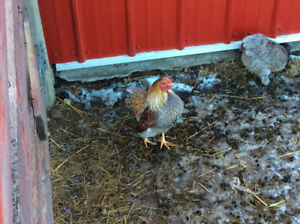 Beautiful Healthy Bantam Roosters for sale