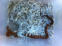 1 year old Corn snake (NEEDS A HOME ASAP)