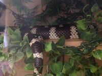 California King Snake BLACK AND WHITE
