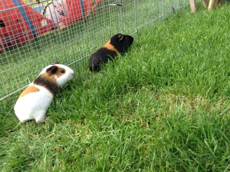 Two male | Guinea pigs