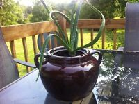 Lovely Aloe Vera plant in vintage bean pot