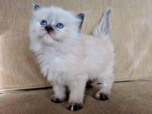 Rag doll kitten. One girl left!