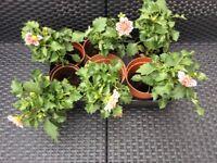 Garden Plants - Dahlia's.