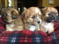 1 Boy left. Cute Teddy Bear Puppies