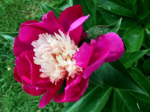 White Cap Peony ready for planting