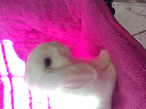 Male BEW holland lop, 7 months old *Price negotiable*