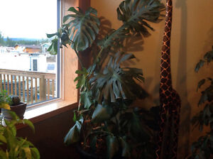 Very large plant for sale