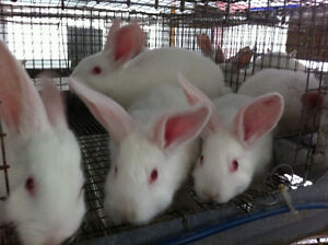 New Zealand Meat Rabbits - Commercial Blood Line - QUALITY Peterborough Peterborough Area image 1