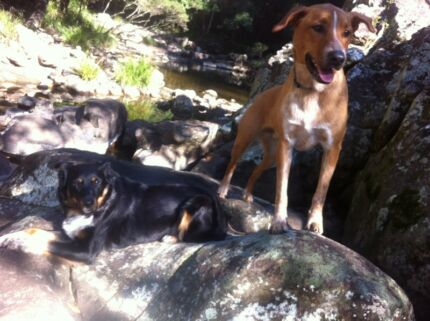 Dogs to loving home  Nambour Maroochydore Area Preview