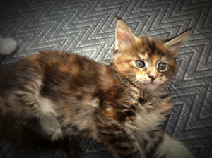 Registered Maine Coon Kittens available.  Registered parents, sh