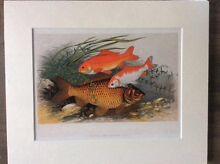$12 each ---Fish  Art print with matt border. RRP$20 each.Sale! Mornington Clarence Area Preview