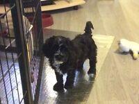 Shih Poo pups (Shih Tzu dad, Mini Poodle mum)