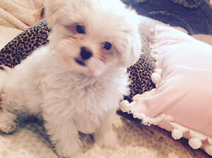 ONE OF THE KIND  SHIH TZU X PAPILLON PUPPY - VERY SPECIAL