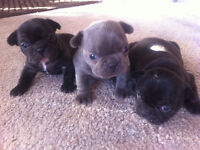 Beautiful Blue & Black French Bulldog Puppies