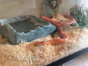 Corn snake and cage