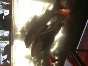 Unwanted fish Peterborough Peterborough Area image 10