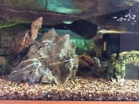 Terrapins male and female FULL SET UP!! With food