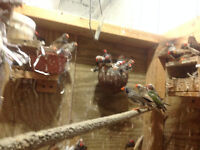 FINCHES FOR SALE why pay retail prices  $30.00 save money