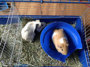 Guinea Pigs for Adoption- the Higglety Pigglety House
