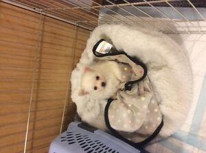 White long hair chihuahua needs new home