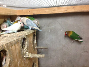 LOVEBIRDS FOR SALE FISCHERS AND BLACK MASK Sarnia Sarnia Area image 5