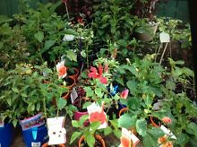 Plants for Sale St Marys Penrith Area Preview