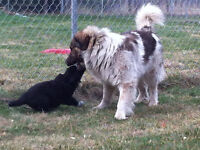 Tornjak/Maremma PLEASE CLICK ON AD TO SEE VIDEO!!!