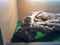 Male bearded dragon 8 months old