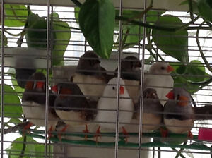 Zebra Finch for sale / Pinsons Mandarin à vendre