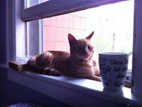 Loveable Orange Kitty Looking For a New Great Home