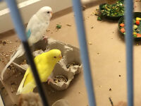 2 Pairs of Fancy Budgies