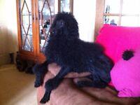 Labradoodle fb1 puppys