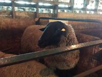 Suffolk ram!! & 2 EWES !!  Sheep !!
