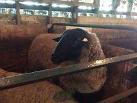 Suffolk ram!! & 2 EWES !!  Sheep !!