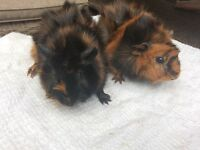 Baby Abyssinian Guinea pig sows