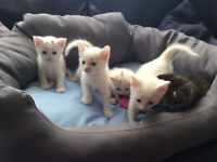 Gorgeous Siamese lilac point/BSH x kittens 3 F (only 2F now), 2M for sale £150