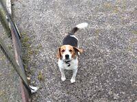 Miniature Beagle Free to Good Home!