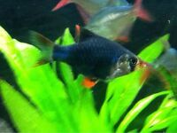 YOUNG GREEN TIGER BARB