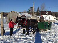 Paire de chevaux canadiens croisée, juments selle&voiture Cheval