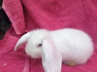 French lop does